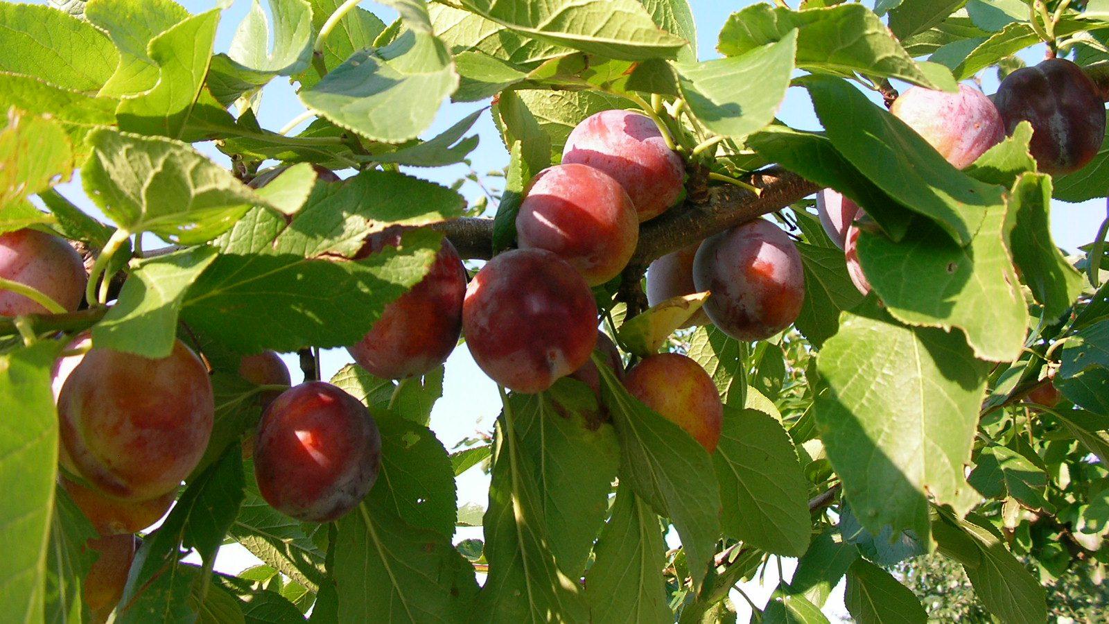 Fruit Picking in Yoichi and Niki