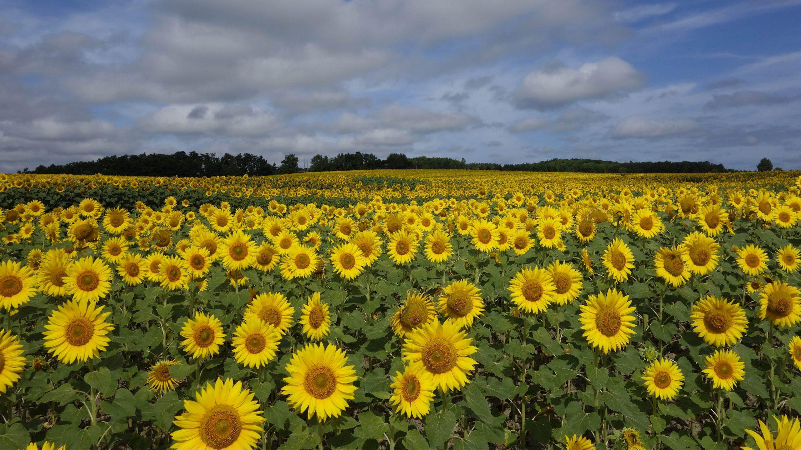 Sunflower Town Hokuryu