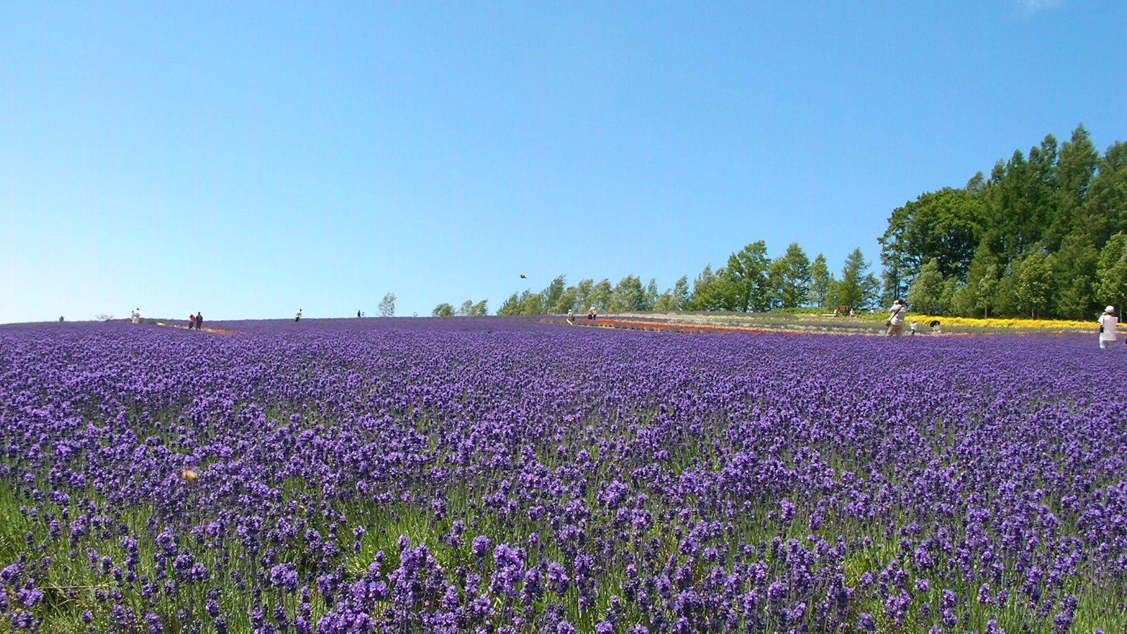 Nakafurano Lavender Gardens