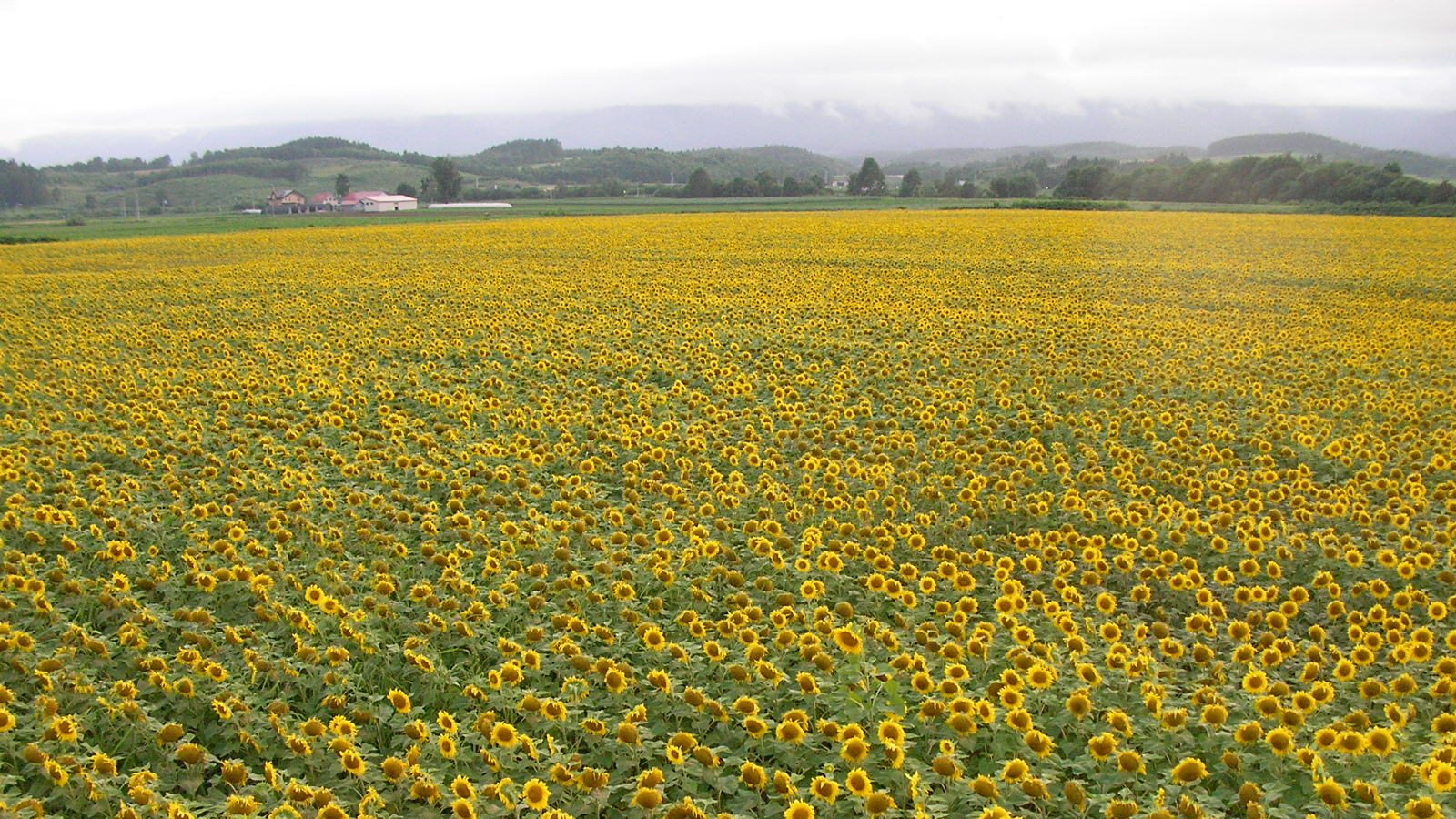 Sunflower Town Nayoro